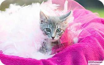 Domestic Longhair Kitten for adoption in Santa Fe, Texas - Rosie Baby
