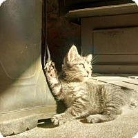 Adopt A Pet :: 3647 Cat Ballou - SC - Council Bluffs, IA