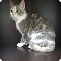 Calico Kitten for adoption in Albemarle, North Carolina - Eleanor Roosevelt