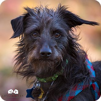 Terrier (Unknown Type, Small)/Affenpinscher Mix Dog for adoption in Verona, New Jersey - Malcolm:Adoption Pending