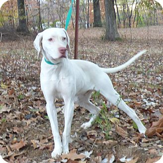 Pointer Dog for adoption in Newburgh, New York - Saul