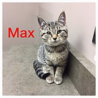 Adopt A Pet :: Max - Woodstock, ON