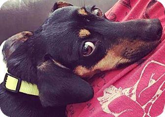 Miniature Pinscher Dog for adoption in Boston, Massachusetts - Ma Barker
