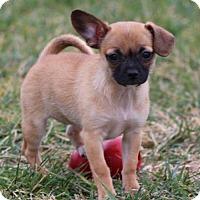 Adopt A Pet :: Slanina - super snuggler! - Columbia, MD