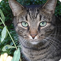 Adopt A Pet :: Eleanor Purrsevelt - Brooklyn, NY
