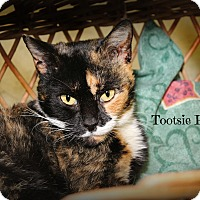 Domestic Shorthair Cat for adoption in Glen Mills, Pennsylvania - Tootsie Pop