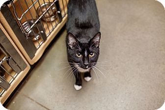 Domestic Shorthair Cat for adoption in Statesville, North Carolina - Caesar