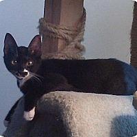 Domestic Shorthair Cat for adoption in Gardena, California - Henry