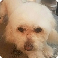Adopt A Pet :: Brittan - Las Vegas, NV