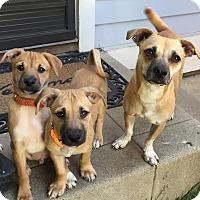 Adopt A Pet :: Honey - Marina del Rey, CA