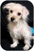 Havanese Puppy for adoption in St. Louis, Missouri - Vincent Havanese