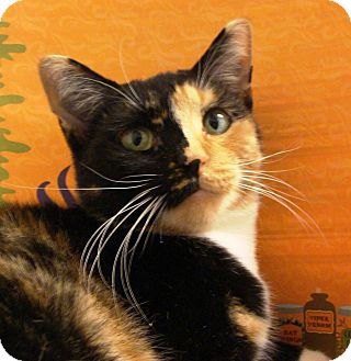 Domestic Shorthair Cat for adoption in Albany, New York - Ali