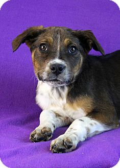 Shepherd (Unknown Type)/Australian Cattle Dog Mix Puppy for adoption in Westminster, Colorado - Natasha
