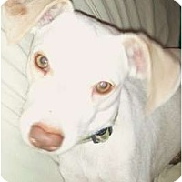 Adopt A Pet :: Rhett - Mesa, AZ