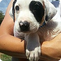 Adopt A Pet :: Cooper- The Baby - Shavertown, PA