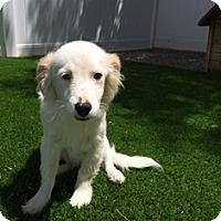 Adopt A Pet :: Jefferson - Tustin, CA