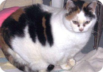 Calico Cat for adoption in Alden, Iowa - Sweet Williams