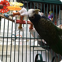 Adopt A Pet :: Lexi - Punta Gorda, FL