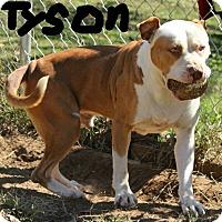 Adopt A Pet :: Tyson - Windham, NH