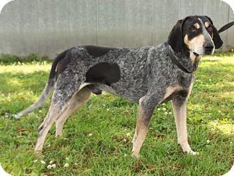 Bluetick Coonhound Dog for adoption in Brattleboro, Vermont - Hoagie