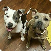 Adopt A Pet :: Porsha - Sacramento, CA