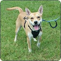 Basenji Mix Dog for adoption in Shreveport, Louisiana - Blondie