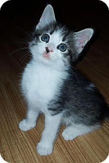 Domestic Shorthair Kitten for adoption in Asheboro, North Carolina - Mischief