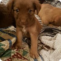 Adopt A Pet :: Ziggy MARLEY - Stamford, CT