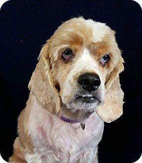 Cocker Spaniel Mix Dog for adoption in Urbana, Ohio - Walter Montgomery