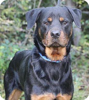 Rottweiler Dog for adoption in Chester Springs, Pennsylvania - Boomer