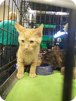 Domestic Shorthair Kitten for adoption in Avon, Ohio - Marlee