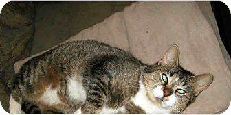 Domestic Shorthair Cat for adoption in Waterbury, Connecticut - Sugarplum