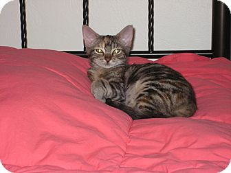 Domestic Shorthair Kitten for adoption in New Smyrna Beach, Florida - Annie