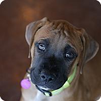 Adopt A Pet :: Lantern - San Antonio, TX