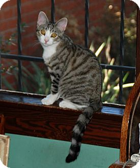 Domestic Shorthair Kitten for adoption in Los Angeles, California - Rocky