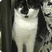 Adopt A Pet :: Cherry&Cola-Kittens! - Manchester, NH