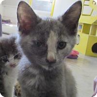 Adopt A Pet :: BELLE - Jackson, MO