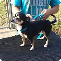 Adopt A Pet :: Lopez - San Antonio, TX