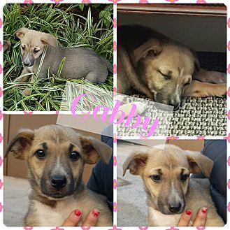 Shepherd (Unknown Type) Mix Puppy for adoption in Gainesville, Georgia - Gabby