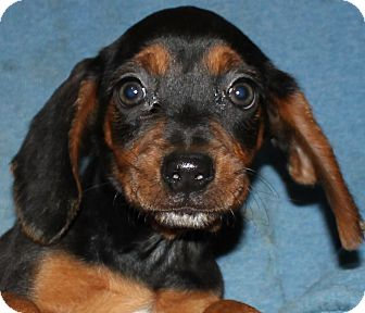 Beagle Mix Puppy for adoption in Colonial Heights, Virginia - Tulip