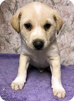 Labrador Retriever/Siberian Husky Mix Puppy for adoption in Danbury, Connecticut - Marco