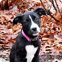 Adopt A Pet :: PUPPY ATHENA - Andover, CT