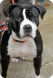 American Staffordshire Terrier Mix Dog for adoption in Pottsville, Pennsylvania - Gobbler