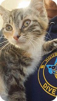 Domestic Mediumhair Kitten for adoption in Spring, Texas - Riley