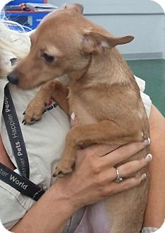 Miniature Pinscher/Chihuahua Mix Puppy for adoption in Fort Worth