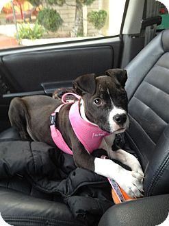 Labrador Retriever/American Staffordshire Terrier Mix Puppy for adoption in Los Angeles, California - *** Courtesy Post*** (Snoopy)