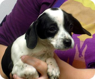 Beagle Mix Puppy for adoption in baltimore, Maryland - Julliette
