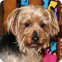 Adopt A Pet :: *Ivy - PENDING - Westport, CT