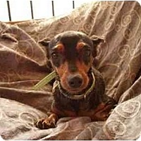 Adopt A Pet :: Gucci - Phoenix, AZ