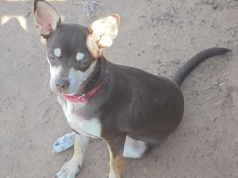 Chihuahua Puppy for adoption in Anton, Texas - Jolie